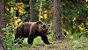 Медведи выходят к людям.  Есть ли опасность?