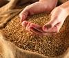 В районе увеличатся посевы элитных зерновых культур