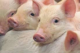 Африканская чума свиней. Комплекс предупредительных мер