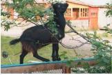 Коза-дереза фото Л. Чугаиновой номинация Неожиданный ракурс