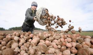 Здоровый семенной материал – залог отличного урожая картофеля