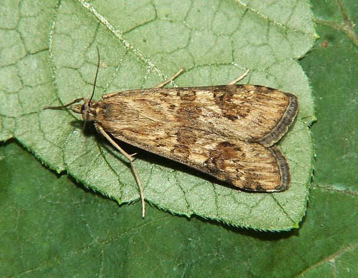 В Черемховском районе 13 июня начался массовый лет бабочки лугового мотылька