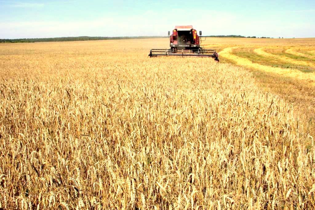 В районе убрано более 80% зерновых