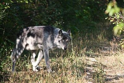 В районе ежегодно отстреливают до 35 волков