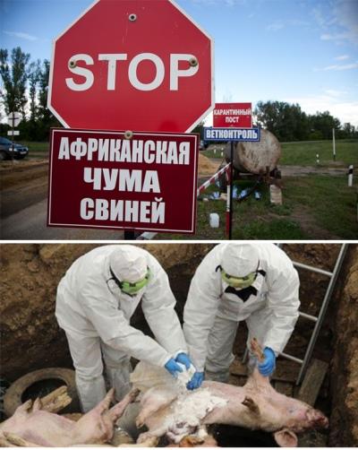 Африканская чума свиней: опасность рядом