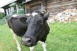 В Черемховском районе полицейские выявили группу похитителей крупного рогатого скота