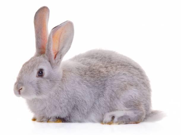 Вирусная геморрагическая болезнь кроликов.