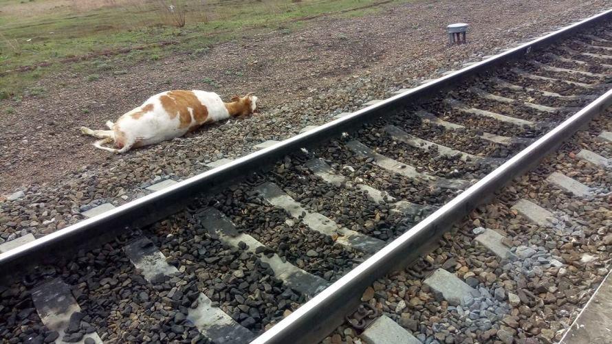 На станции Парчум поезд сбил корову