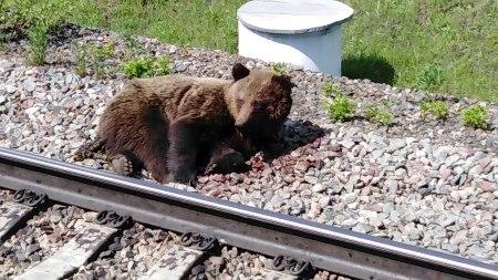 Возле Таргиза поезд сбил медведицу