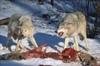 В районе проведут дополнительный отстрел волков